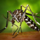 World Health Organisation announces plan to sterilise male mosquitoes