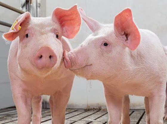 China bans pig imports from Indonesia