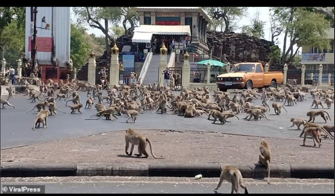 Photo of Coronavirus: Community of monkeys invade Thai city in search of food